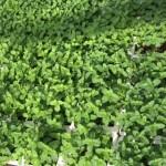 HWAD Al Bahia87 e1443076481830 150x150 - Al Bahia Plant Nursery