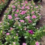 HWAD Al Bahia89 e1443102778922 150x150 - Al Bahia Plant Nursery