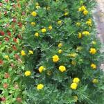 Marigold e1443103063706 150x150 - Al Bahia Plant Nursery