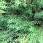 Rosemary 150x150 - Al Bahia Plant Nursery